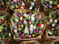 Weer van invloed op keuze kleur tulp